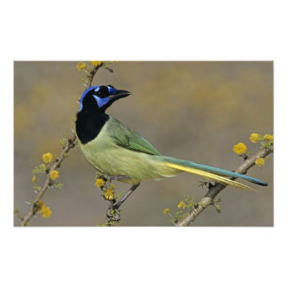 Green Jay Cyanocorax yncas adult on blooming Photographic Print