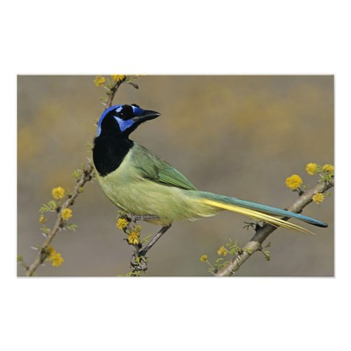 Green Jay, Cyanocorax yncas, adult on blooming Photographic Print