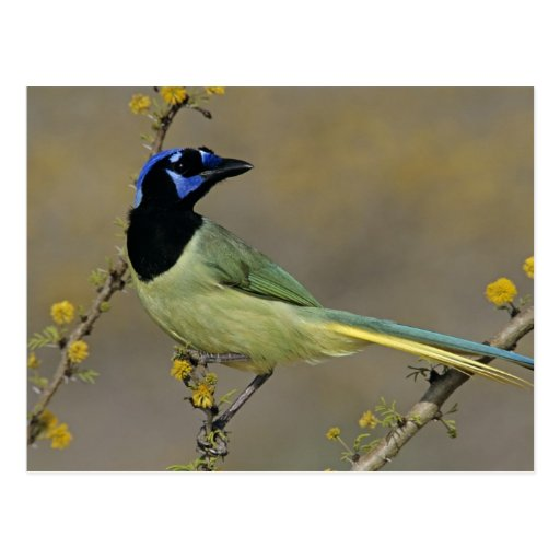 Green Jay, Cyanocorax yncas, adult on blooming Post Cards