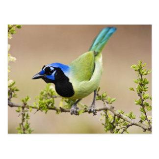 Green Jay Cyanocorax yncas) adult perched in Postcard