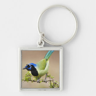 Green Jay Cyanocorax yncas) adult perched in Silver-Colored Square Key Ring