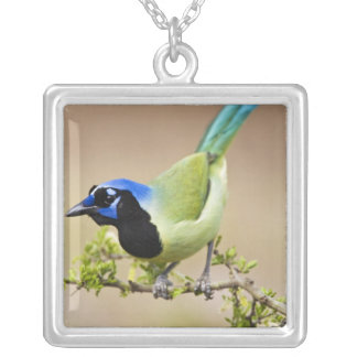 Green Jay Cyanocorax yncas) adult perched in Silver Plated Necklace
