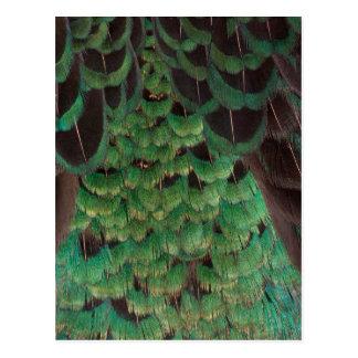Green Melanistic Pheasant Feathers Postcard