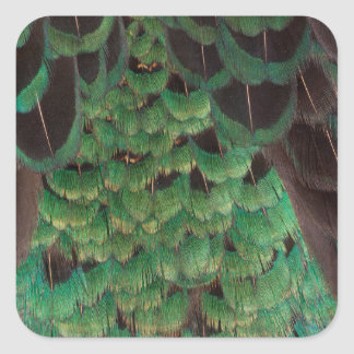Green Melanistic Pheasant Feathers Square Sticker