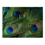 Green Peacock Feathers Post Card