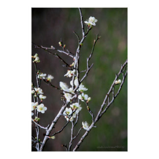 Green Plum Blossoms Photography Poster