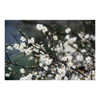 Green Plum Blossoms Photography Posters