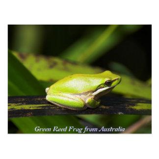 Green Reed Frog Postcard