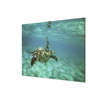Green Sea Turtle, (Chelonia mydas), Kona Coast, Canvas Print