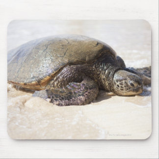 Green sea turtle Chelonia mydas) on the beach in Mouse Mat
