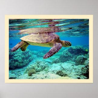 Green sea turtle (Chelonia mydas) Poster