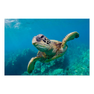 Green Sea Turtle Swimming Over Coral Reef |Hawaii Poster