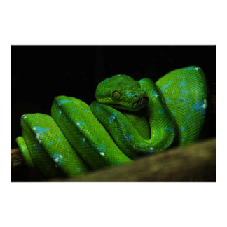 Green Snake in Captivity Poster