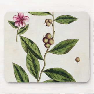Green Tea, plate 351 from 'A Curious Herbal', publ Mouse Mat