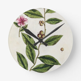 Green Tea, plate 351 from 'A Curious Herbal', publ Round Clock
