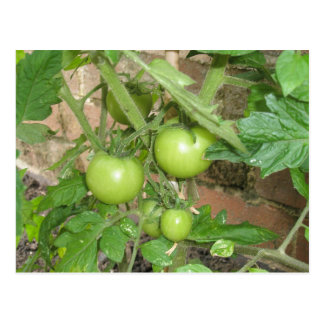 Green Tomatoes Postcard