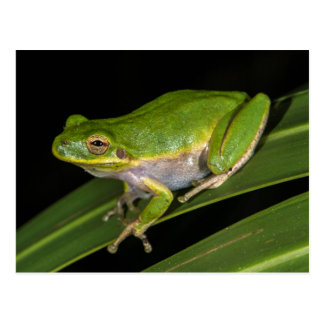 Green Tree Frog (Hyla cinerea) 2 Postcard
