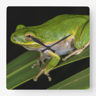 Green Tree Frog (Hyla cinerea) 2 Square Wall Clock