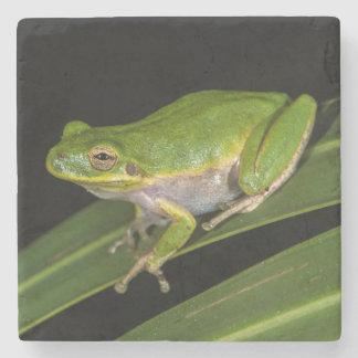 Green Tree Frog (Hyla cinerea) 2 Stone Coaster