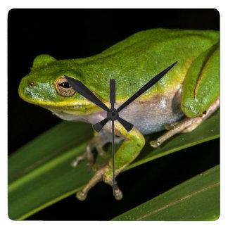 Green Tree Frog (Hyla cinerea) 2 Wallclock