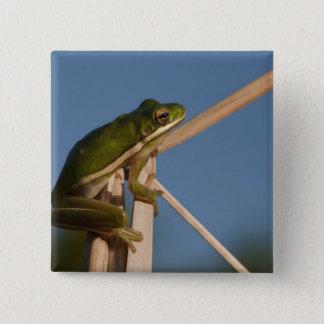 Green Tree Frog Hyla cinerea) Little St 15 Cm Square Badge