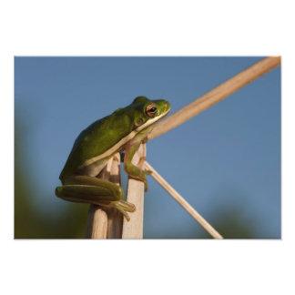 Green Tree Frog Hyla cinerea) Little St Art Photo