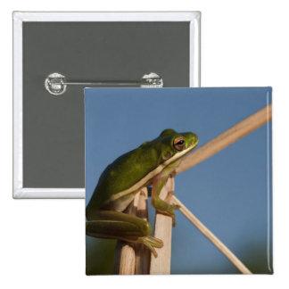 Green Tree Frog Hyla cinerea Little St Button