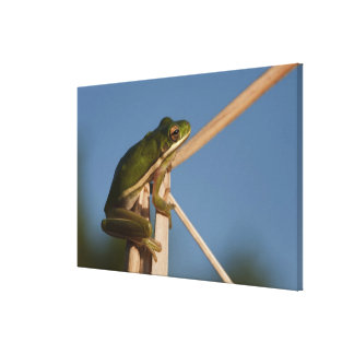 Green Tree Frog Hyla cinerea) Little St Stretched Canvas Print