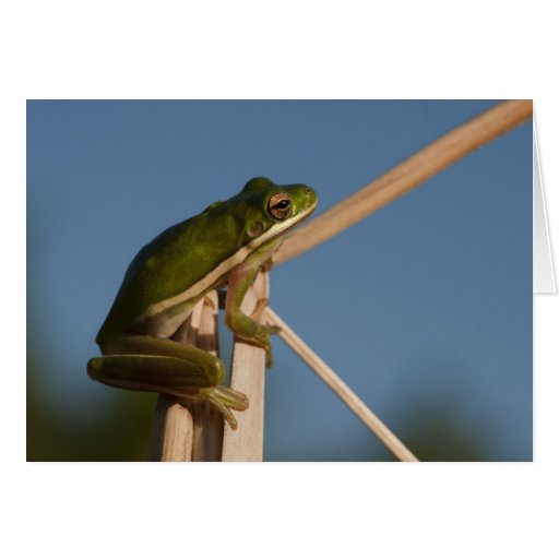 Green Tree Frog Hyla cinerea) Little St Greeting Cards