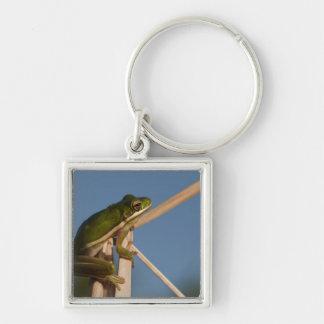 Green Tree Frog Hyla cinerea Little St Key Chain