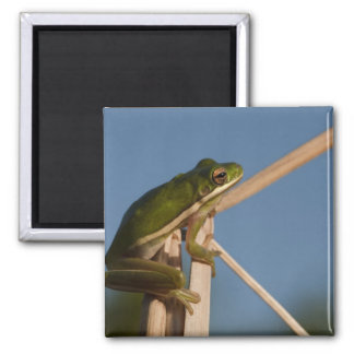 Green Tree Frog Hyla cinerea) Little St Magnet