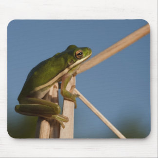 Green Tree Frog Hyla cinerea) Little St Mouse Pads