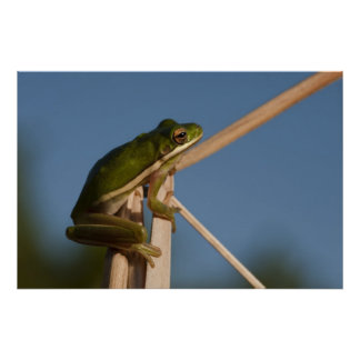 Green Tree Frog Hyla cinerea Little St Poster