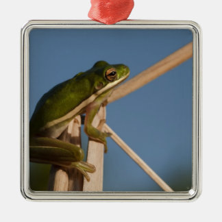 Green Tree Frog Hyla cinerea) Little St Silver-Colored Square Decoration