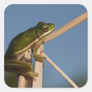 Green Tree Frog Hyla cinerea) Little St Square Sticker