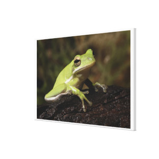 Green Tree Frog, Hyla cineria, Canvas Print