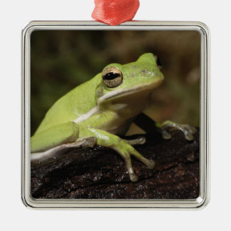 Green Tree Frog, Hyla cineria, Christmas Ornament