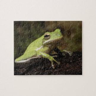 Green Tree Frog, Hyla cineria, Jigsaw Puzzle