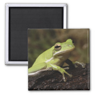 Green Tree Frog, Hyla cineria, Magnet