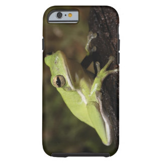 Green Tree Frog, Hyla cineria, Tough iPhone 6 Case