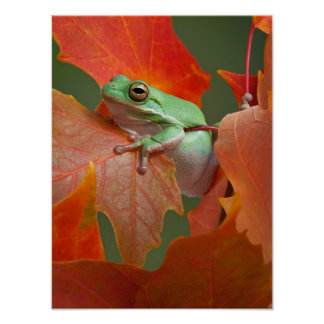 Green Tree Frog In Fall Poster