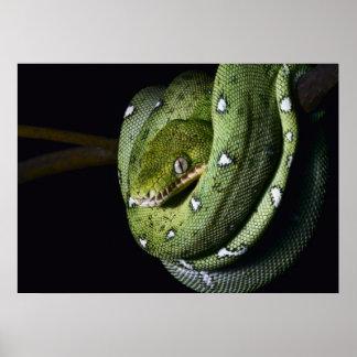 Green tree snake emerald boa in Bolivia Poster