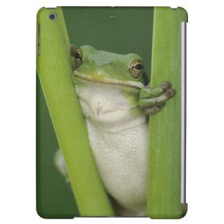 Green Treefrog, Hyla cinerea, adult, Lake