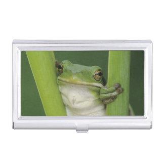 Green Treefrog, Hyla cinerea, adult, Lake Business Card Holder