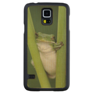 Green Treefrog, Hyla cinerea, adult, Lake Carved Maple Galaxy S5 Case