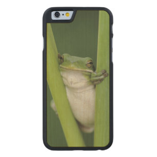 Green Treefrog, Hyla cinerea, adult, Lake Carved Maple iPhone 6 Case