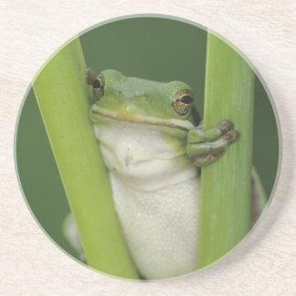 Green Treefrog, Hyla cinerea, adult, Lake Coaster