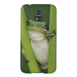 Green Treefrog, Hyla cinerea, adult, Lake Galaxy S5 Cases