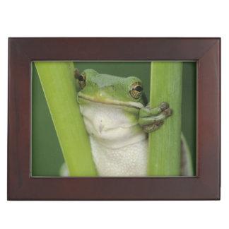 Green Treefrog, Hyla cinerea, adult, Lake Keepsake Box