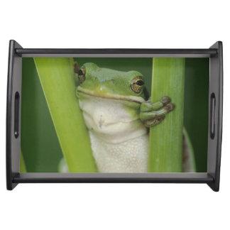 Green Treefrog, Hyla cinerea, adult, Lake Serving Tray